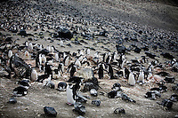 Deception Island, Antarctica, Jan. 5, 2007 - A colony of chinstrap penguins, numbering somewhere around 80,000 at Baliey Head on Deception Island. Scientists have been keeping track of the penguins since the 1950's. As warmer climate penguins, their numbers have increased with the rising of the ocean temperature. Antarctica is home to five of the world's 17 different species of penguins. Though climate reports suggest that the continent is not warming substantially as a result of global warming, the ocean around it is. In fact the temperature of the Southern Ocean has risen 11 degrees since the 1950's. This has caused a problem for the cold water species of penguin, such as the Emperor and Adelie. They have had to move further south to survive, while warmer climate species, such as Gentoo and Chinstrap have expanded their sizes. While this would seem good news for the Gentoo and Chinstrap, the warming of the waters has caused larger melting of icebergs than previously expected. The flow of fresh water with the salt water under the icebergs are the breeding ground for krill, the primary food for penguins. The increased number of the colonies along with the decrease in food has caused major problems for all of the species. .
