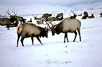 WY: Grand Teton National Park, Wyoming; male elk fighting  Elk herd in the National Elk Refuge of Jackson Hole                  .Photo Copyright: Lee Foster, lee@fostertravel.com, www.fostertravel.com, (510) 549-2202.Image: wygran230