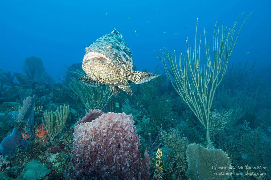 Gardens of the Queen, Cuba; a Goliath Grouper swimming above a large purple barrel sponge on the coral reef