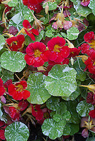 Tropaeolum majus 'Kiki's Kiss', red with variegated foliage leaves, nasturtium, climbing annual vine
