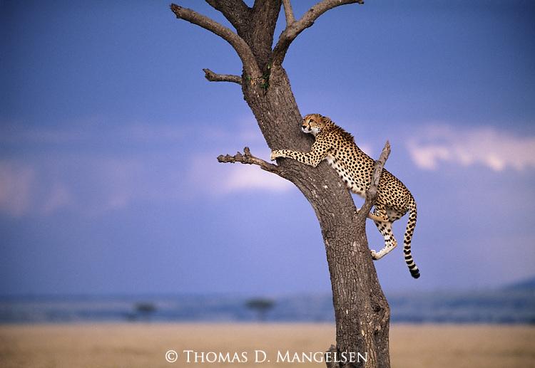 Cheetah climbs tree for a better vantage point of the savannah in Maasai Mara National Reserve, Kenya.