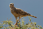 Dark Chanting Goshawk, Melierax metabates, Juvenile, Ethiopia, perhced in tree.Africa....