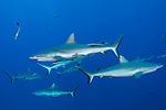 Great Barrier Reef, Australia; grey reef sharks swimming in blue water