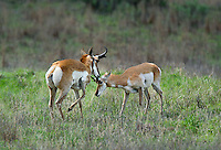 673080114 wild pronghorn antilocarpa americana graze and interact on a grassy hillside near canadian texas united states