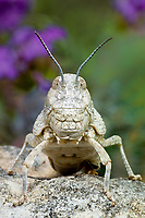 361100005 a wild chihuahua lubber grasshopper phrynotetix tshivavensis sits on a granite rock in the hill country of central texas
