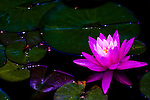 A large variety of flowers, like this pink water lily, dot the 50-acre expanse of Brookside Gardens in Silver Spring, Maryland.