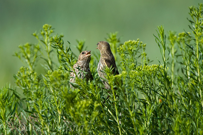 578590012 a pair of wild pine siskins carduelis pinus forage on wild bushes in bryce canyon national park utah united states