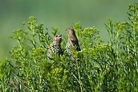 578590012 a pair of wild pine siskins carduelis pinus forage on wild bushes in bryce canyon national park utah united states