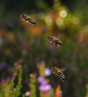 Flying bees,domestic Domestic bees