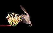 Pollination - Mexican Long Nosed Bat (Leptonycteris nivalis)...