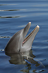 Atlantic Bottlenose Dolphin, Tursiops truncatus,