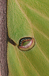 Luna moth wing eye spot