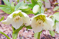 Helleborus x hybridus - single white no spots, Eco