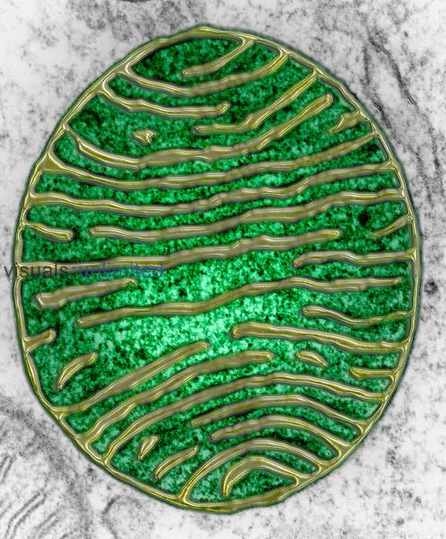 Mitochondrion TEM 105,000...