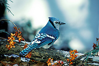 Blue jay, cyanocitta cristatta, perches among bittersweet berries on snowy log  Midwest USA