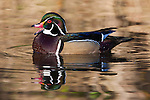 Wood duck, George C. Reifel Migratory Bird Sanctuary, British Columbia, Canada