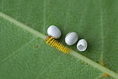 Silkmoth eggs and a newly hatched caterpillar (Rothschildia orizaba). Ecuador.