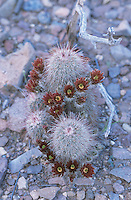 Brown-flowered Cactus, Echinocereus chloranthus, blossom, Big Bend National Park, Texas, USA, March 2005