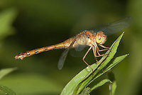 Autumn Meadowhawk (Sympetrum vicinum) Dragonfly - Female, Promised Land State Park, Greentown, Pike County, Pennsylvania