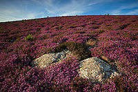 Heather/Parc naturel regional du Haut-Languedoc/Caroux/France
