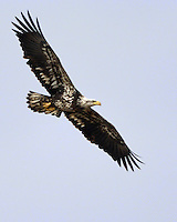 3 year old bald eagle in flight.