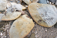 Fossils in rocks, Valley of Ten Thousand Smokes, Katmai National Park, Alaska