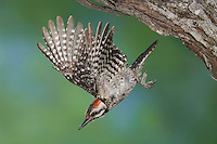 Ladder-backed Woodpecker, Picoides scalaris, male in flight leaving nesting cavity, Willacy County, Rio Grande Valley, Texas, USA