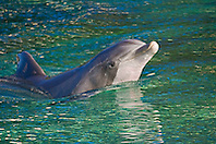 common bottlenose dolphin, Tursiops truncatus, spyhopping, Hawaii, USA, captive