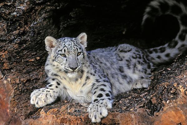 how to get a juvenile snow leopard gw2