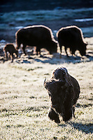 Bison covered with frosty morning dew in the Hayden Valley of  Yellowstone National Park