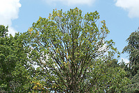 Quercus frainetto - sudden oak death tree problem disease