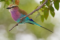 A lilac-breasted roller perched on a branch, Botswana, Africa
