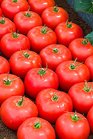Red ripe Tomatoes, fresh, picked, in rows, slicing type beefsteak variety, lined up, full of lycopene and antioxidants, healthy food crop