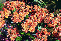 Classic pastel peach roses, orange flowers , Rain Bird, Rose Parade  Float, Mountaintop Majesty
