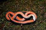 Snakes, Red-Bellied