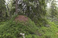 Rote Waldameise, Ameisenhaufen, Ameisenhügel, riesiger Haufen eines Ameisenstaates in einem Nadelwald, der Haufen ist mit Blaubeer-Büschen bewachsen, Formica (rufa), wood ant