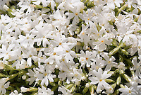 White flowers of groundcover spring blooming perennial Phlox subulata Snowflake
