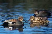 534553074 wild male and female gadwalls anas strepera swim in a shallow pond at sacreamento national wildlife refuge in north central canlifornia