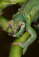 CH35-533z  Male Jackson's Chameleon or Three-horned Chameleon, close-up of face, eyes and three horns, Chamaeleo jacksonii