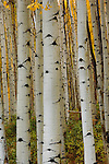 Forest of Quaking Aspens in the White River National Forest near Ashcroft, Colorado.