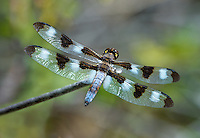 389320005 a wild male twelve-spotted skimmer libellula pulchella perches on a dead plant stem in modoc county california
