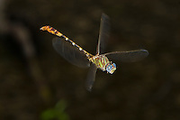 Eastern Ringtail male Dragonfly in flight (Erpetogomphus designatus), Odonata, Gomphidae, Texas, USA