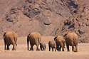 Namibia;  Namib Desert, Skeleton Coast,  desert elephant (Loxodonta africana) breeding herd walking across barren plain
