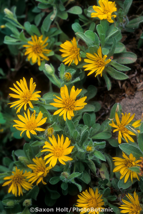 Heterotheca villosa (Goldenaster) yellow flowers