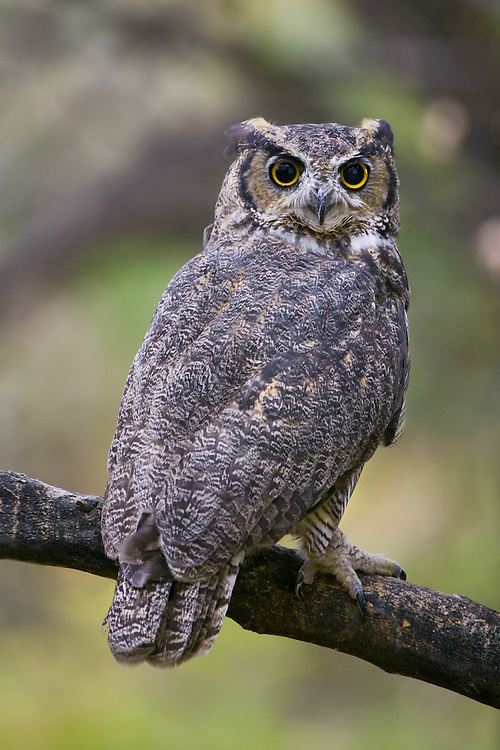 Great Horned Owl perched on a branch