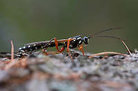 Ichneumon wasp (Dolichomitus imperator), male looking for female on dead wood. Western Tatras, Slovakia. June 2009. Mission: Ticha