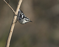 Distinctive in both plumage and behavior, the Black-and-white Warbler forages for insects while creeping along the trunks and branches of trees.