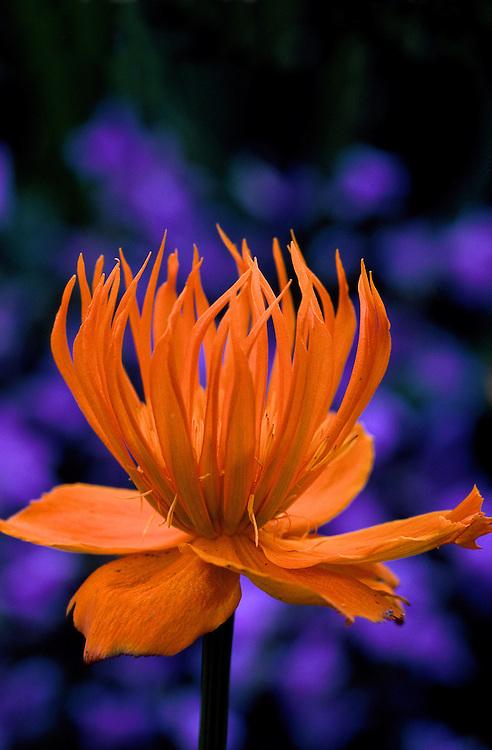Close-up at twilight of glowing Trollius x cultorum, globeflower, Van Dusen Botanical Garden, Vancouver, BC