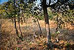 Tiger, Bandhavgarh National Park, India, Endangered