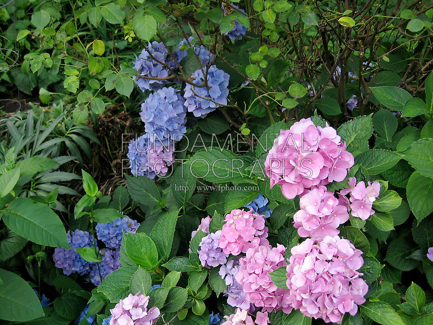 HYDRANGEA FLOWERS<br /> Flower Color Changes According To The Soil pH<br /> Basic soil gives the flowers a pink color, acidic soil makes the flowers blue, lavender flowers grow in soil with a neutral pH.